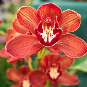flower, orchid, red